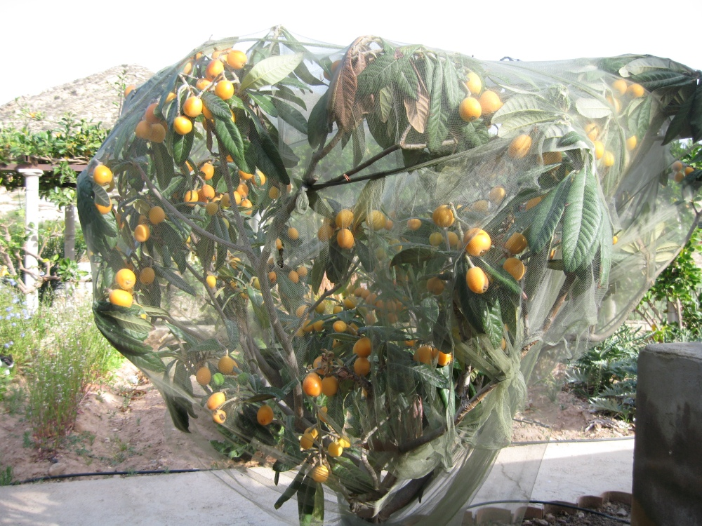 Loquats or Nispero (2/4)