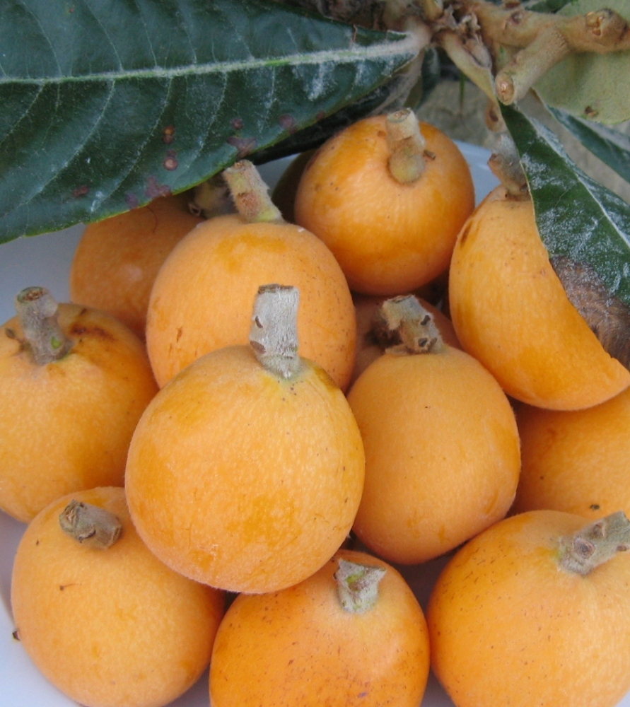 Loquats or Nispero (1/4)